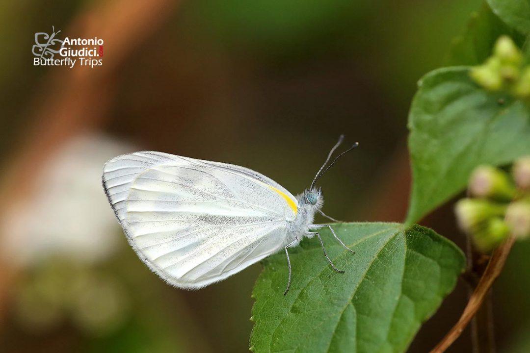 The Indian Cabbage Whiteผีเสื้อหนอนกะหล่ำอินเดียArtogeia canidia