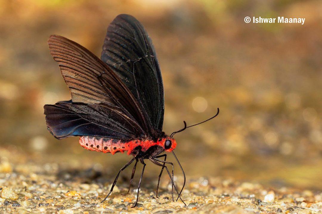 The Common Batwingผีเสื้อปีกค้างคาวธรรมดา Atrophaneura varuna astorion