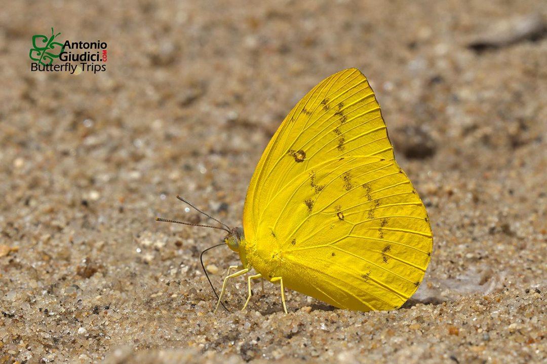 The Orange Emigrantผีเสื้อหนอนคูนเหลืองCatopsilia scylla