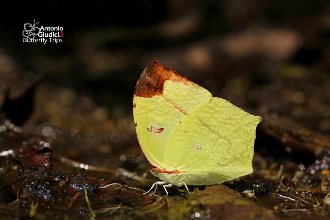 The Common Tailed Sulfurผีเสื้อเหลืองกำมะถันธรรมดาDercas verhuelli