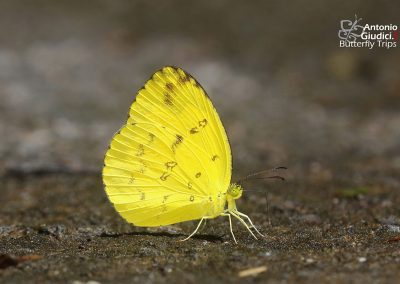 The Anderson's Grass Yellowผีเสื้อเณรแอนเดอร์สันEurema andersoni
