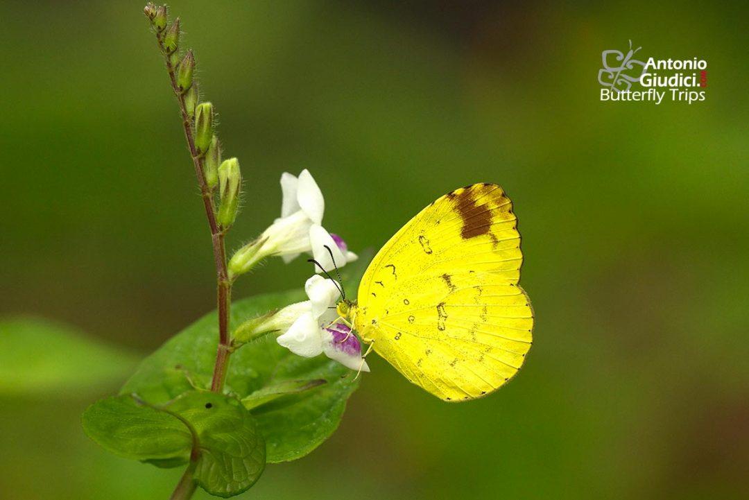 The Three-spot Grass Yellowผีเสื้อเณรสามจุดEurema blanda