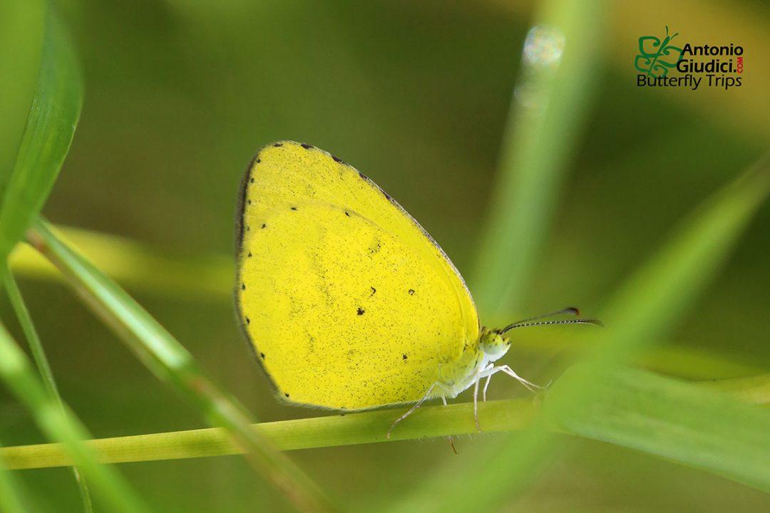The Small Grass Yellowผีเสื้อเณรจิ๋วEurema brigitta