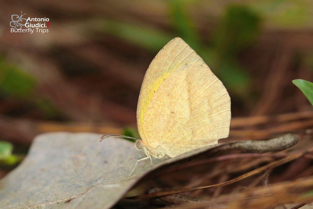 The Spotless Grass Yellowผีเสื้อเณรไร้จุดลายขีดEurema laeta