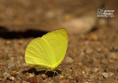 The Tree Yellowผีเสื้อเณรยอดไม้Gandaca harina