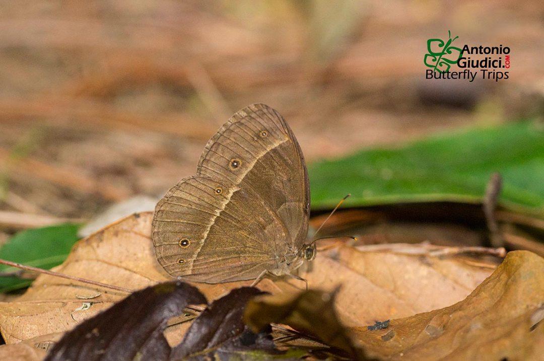 The Lilacine Bushbrownผีเสื้อตาลพุ่มเหลือบม่วงMycalesis francisca