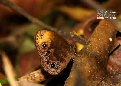 The Bandless Bushbrownผีเสื้อตาลพุ่มแต้มส้มMycalesis maianeas