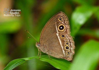 The Dark-branded Bushbrownผีเสื้อตาลพุ่มสี่จุดเรียงMycalesis mineus