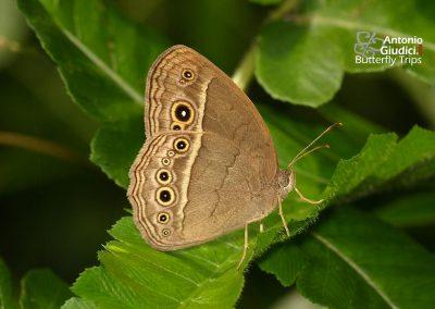 The Burmese Bushbrownผีเสื้อตาลพุ่มพม่าMycalesis perseoides