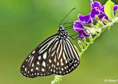 The Dark Glassy Tigerผีเสื้อลายเสือขีดสั้นParantica agleoides