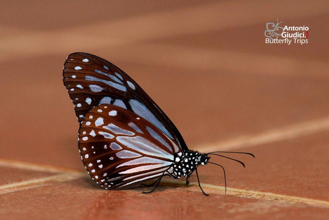 The Chocolate Tigerผีเสื้อลายเสือสีตาลParantica melaneus