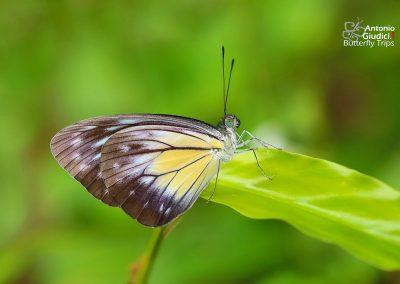The Malayan Wandererผีเสื้อฟ้าเมียเลียนมลายูPareronia valeria