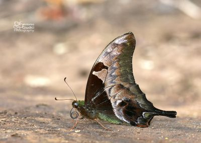 The Brown Gorgonผีเสื้อหางดาบตาลไหม้Meandrusa lachinus