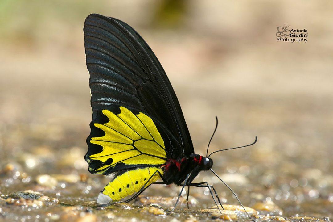 The Common Birdwingผีเสื้อถุงทองป่าสูง Troides helena