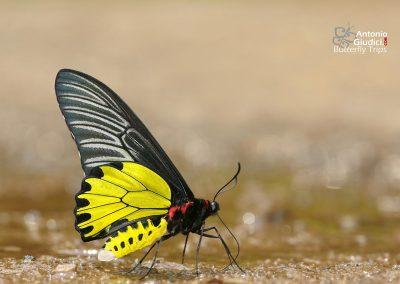 The Golden Birdwingผีเสื้อถุงทองธรรมดาTroides aeacus