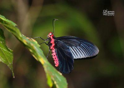 The Malayan Batwingผีเสื้อปีกค้างคาวมาเลย์Atrophaneura varuna varuna