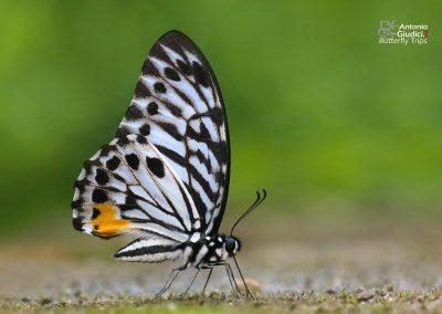 The Malayan Zebraผีเสื้อม้าลายมลายูGraphium delessertii