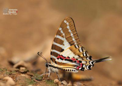 The Spot Swordtailผีเสื้อหางดาบลายจุดGraphium nomius