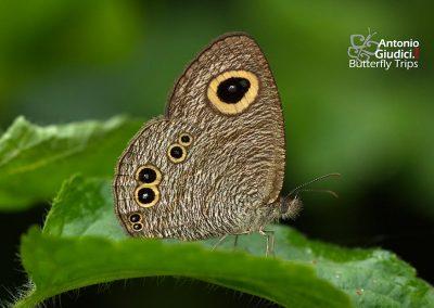 The Common Fiveringผีเสื้อสีตาลจุดตาห้าธรรมดาYpthima baldus