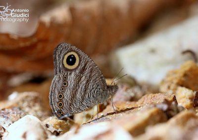 The Straight-banded Fiveringผีเสื้อสีตาลจุดตาห้าแถบตรงYpthima fasciata