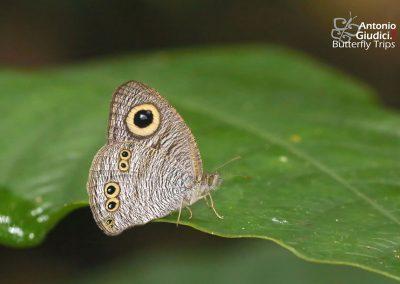 The Malayan Fiveringผีเสื้อสีตาลจุดตาห้ามาเลย์Ypthima nebulosa