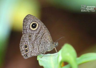 The Singor Fiveringผีเสื้อสีตาลจุดตาห้าเมืองสิงห์Ypthima singorensis
