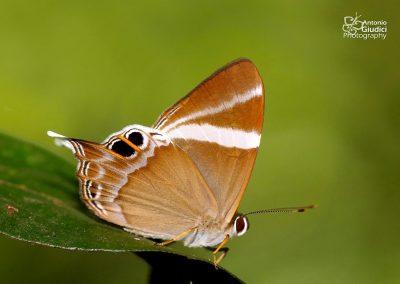 The Tailed Judyผีเสื้อปีกกึ่งหุบหางยาวAbisara neophron