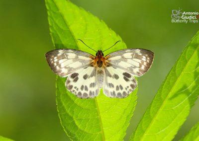 The Mimic Flatผีเสื้อปีกราบลายเลียนAbraximorpha davidii
