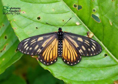 The Yellow Costerผีเสื้อหนอนหนามปีกเหลืองAcraea issoria