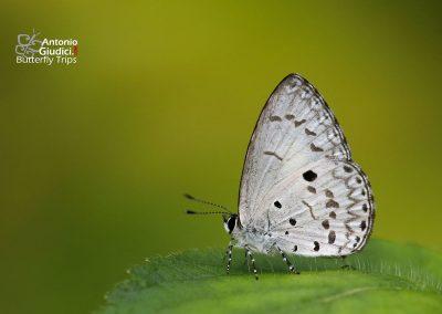 The Common Hedge Blueผีเสื้อฟ้าพุ่มธรรมดาAcytolepis puspa