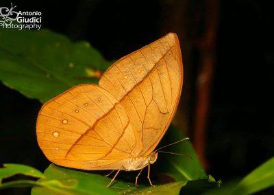 The White Dryadผีเสื้อป่าเหลืองลีนาAemona lena