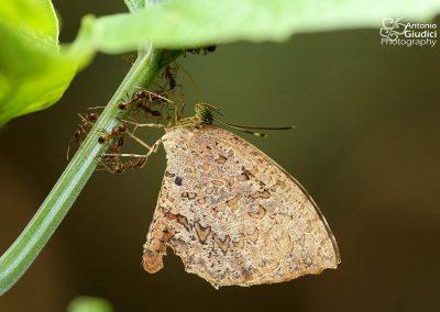 The Crenulate Darkieผีเสื้อกระดำขอบหยักAllotinus drumila