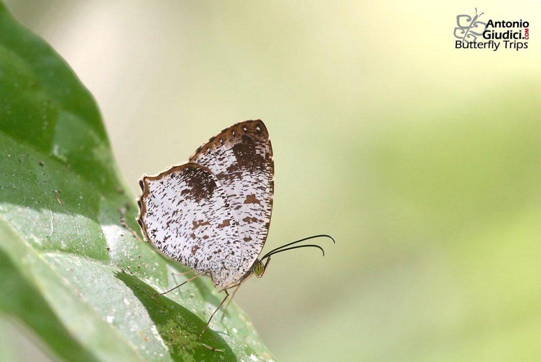 n/an/aAllotinus fabius