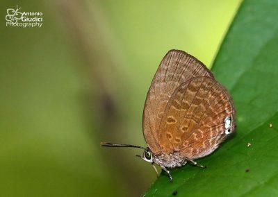 The Small Tailess Oakblueผีเสื้อฟ้าไม้ก่อเล็กหางกุดArhopala antimuta