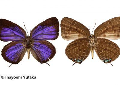 The Deep-purple Oakblueผีเสื้อฟ้าไม้ก่อม่วงเข้มArhopala aroa