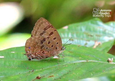The Vinous Oakblueผีเสื้อฟ้าไม้ก่อม่วงองุ่นArhopala athada