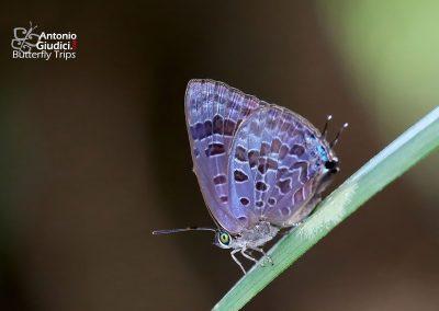 The Grey-washed Oakblueผีเสื้อฟ้าไม้ก่อเคลือบสีเทาArhopala aurelia