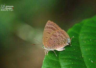 The Kalimantan Oakblueผีเสื้อฟ้าไม้ก่อกาลิมันตันArhopala evansi