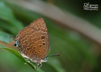 The Peacock Oakblueผีเสื้อฟ้าไม้ก่อเขียวมุมต่ำArhopala horsfieldi