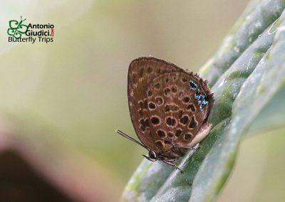 The Druce's Oakblueผีเสื้อฟ้าไม้ก่อดรูสส์Arhopala similis