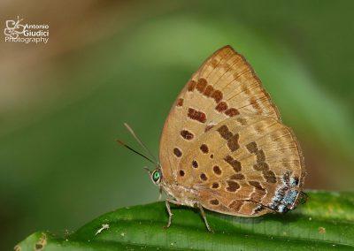 The Silhet Oakblueผีเสื้อฟ้าไม้ก่อเมืองซิลเฮดArhopala silhetensis