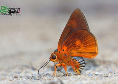 The Great Orange Awletผีเสื้อหน้าเข็มปีกมนส้มใหญ่Burara etelka