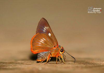 The Orange-striped Awletผีเสื้อหน้าเข็มปีกมนลายส้มBurara jaina