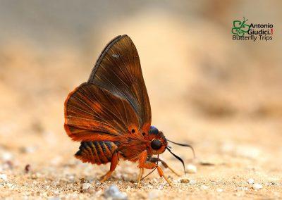 The Branded Orange Awletผีเสื้อหน้าเข็มปีกมนตัวเขียวBurara oedipodea