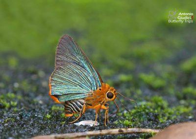 The Orange-tailed Awletผีเสื้อหน้าเข็มปีกมนหางส้มBurara vasutana