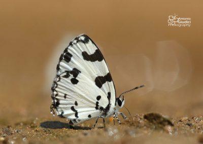 The Angled Pierrotผีเสื้อหนอนพุทราเซลล์ขีดCaleta decidia