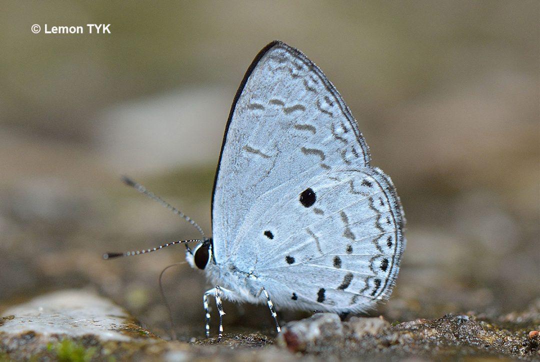 The Long-winged Hedge Blueผีเสื้อฟ้าพุ่มขอบปีกยาวCallenya lenya