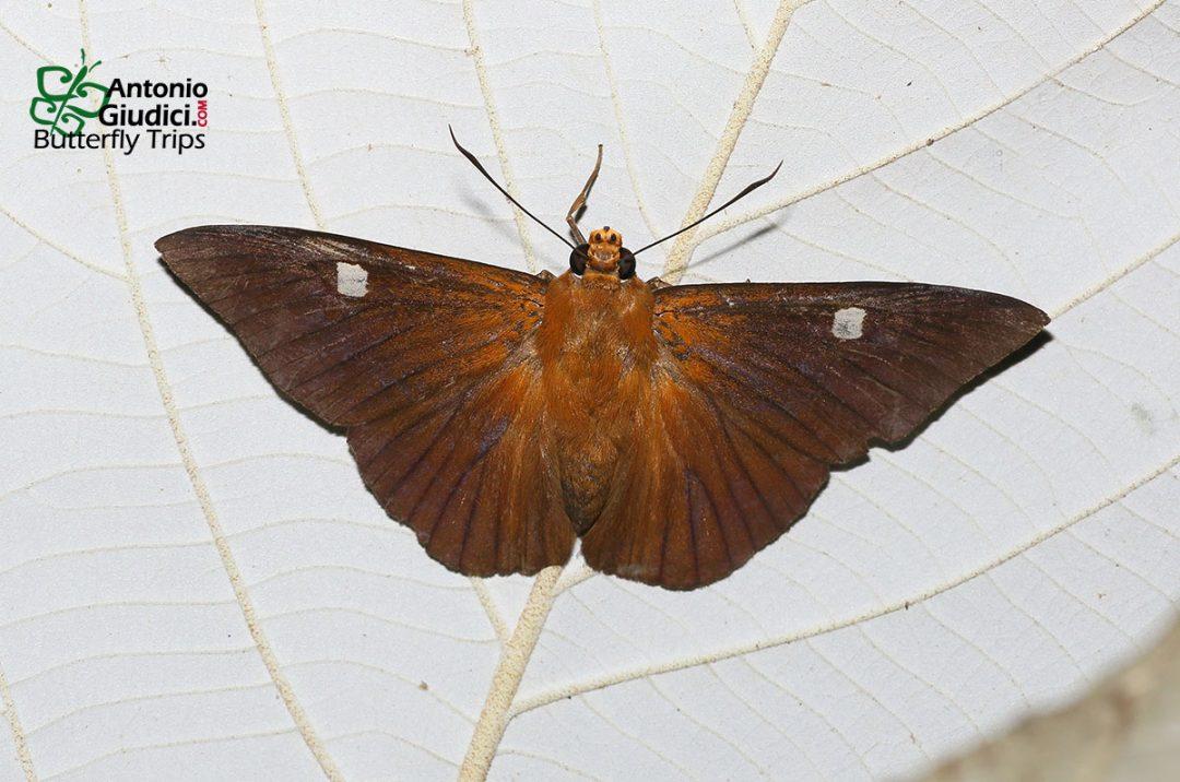 The Hainan Dawnflyผีเสื้อใกล้รุ่งไหหลำCapila hainana