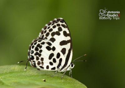The Common Pierrotผีเสื้อหนอนพุทราธรรมดาCastalius rosimon