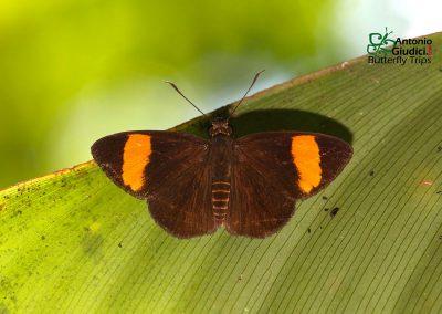 The Orange-banded Flatผีเสื้อปีกราบแถบส้มCelaenorrhinus ladana